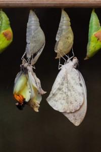 emerging-butterflies